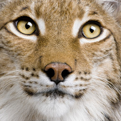Foto op Plexiglas Lynx Close-up of Eurasian Lynx, lynx lynx, 5 years old, studio shot