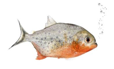 Piranha, Serrasalmus nattereri, studio shot