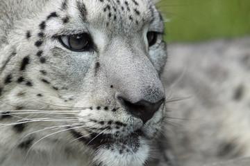 Obraz Porträt eines jungen Schneeleoparden 03 - fototapety do salonu