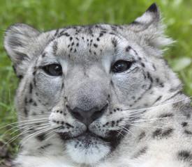Obraz Porträt eines jungen Schneeleoparden 02 - fototapety do salonu