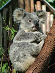 Koala is sitting on the tree