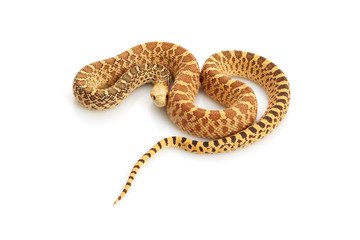 Hypo Bull Snake