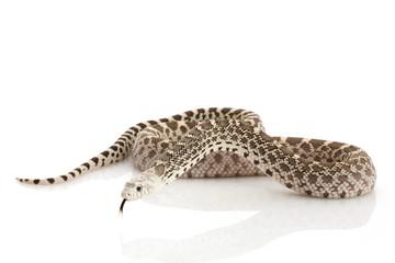 Ghost Bull Snake