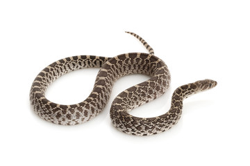 Axanthic Bull Snake