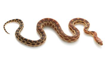 Cape Gopher Snake