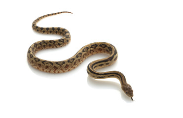 Mexican Lined Gopher Snake