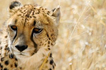 Gepard im Etosha Nationalpark, Namibia