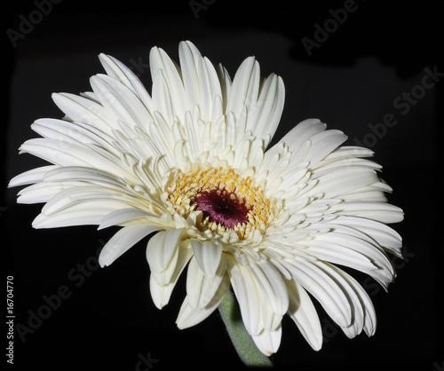 flor margarita gerbera blanca stock photo and royalty free images