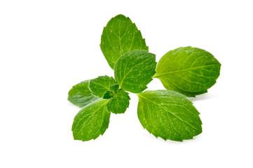 fresh green mint herb