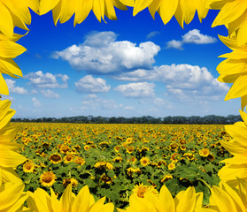 sunflower field with frame