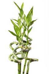 Green shoot of bamboo