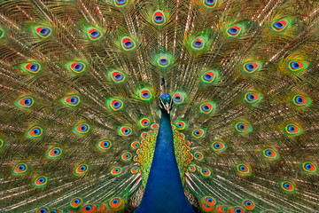 Indian peacock in courting pose with tail fanned out