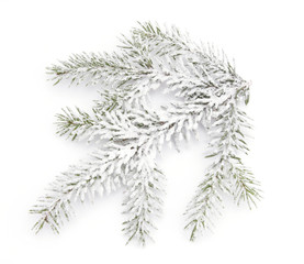 Snowy twig of the spruce o the white backgroud