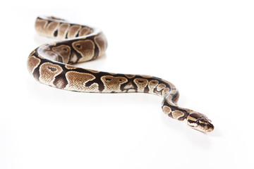 Boa snake isolated on white