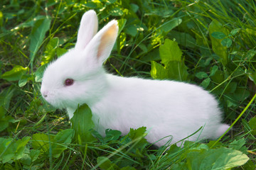 Small white bunny (rabbit) sitting in a grass on a pasture