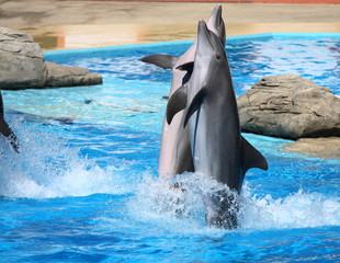 Photo sur Aluminium Dauphins happy dolphins jumping out of the water