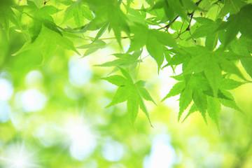 もみじの新緑