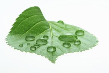 新緑の葉と水滴