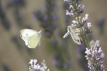 Papillon balnc (photo 3)