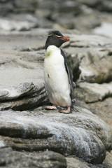 Rockhopper penguin (Eudyptes chrysocome)