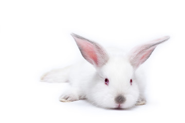 Cute white isolated baby rabbit.