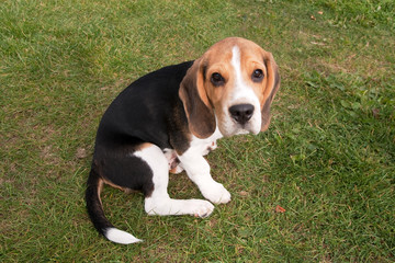 Young Beagle Puppy