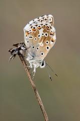 farfalla (also video)