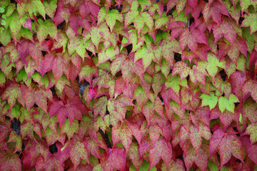 Ivy background (2)
