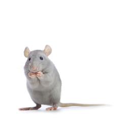Petit rat gris.