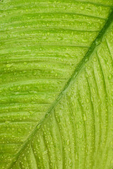 Wet leaf with water drops background