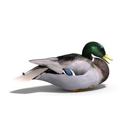 male duck mallard sitting