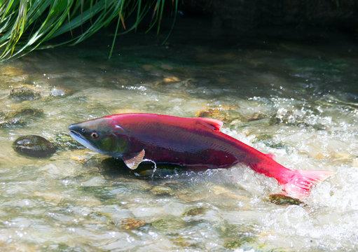 red salmon spawn