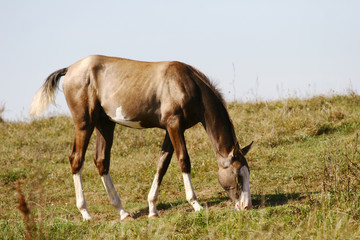 Wall Mural - grey filly on field