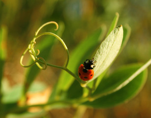 ladybird on leaves