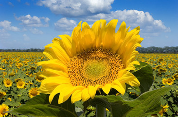 One beautiful sunflower against a wide field and the blue sky