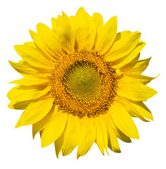 refined main part of isolated sunflower