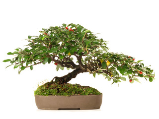 Bonsai / Rote Beeren