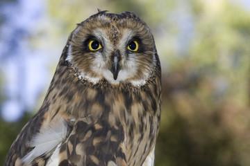 Short eared owl portrait.