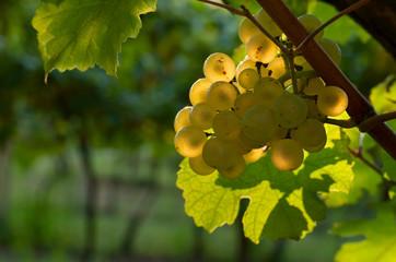 Ripe grapes in evening light