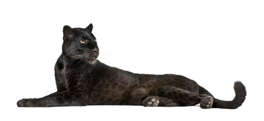 Wall Mural - Black Leopard, 6 years old, in front of a white background