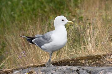 Single Seagull on Rocky Beach