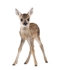 Fototapete - Roe Deer Fawn, standing against white background