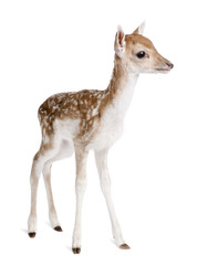 Wall Mural - Side view of Fallow Deer Fawn, standing against white background
