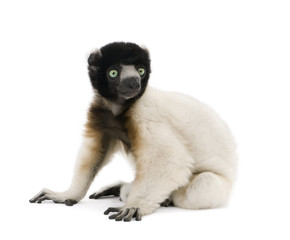 Young Crowned Sifaka sitting against white background