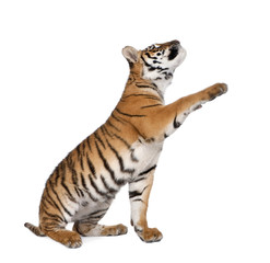 Bengal Tiger, reaching in front of white background, studio shot