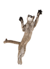 Puma cub, leaping in midair against white background