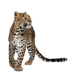 Leopard, walking and looking up against white background