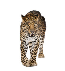 In de dag Luipaard Leopard walking and snarling against white background