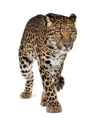 Leopard walking against white background, studio shot