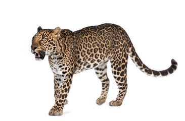 Leopard walking in front of a white background, studio shot